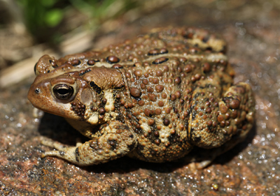 Toads are the main food of the Eastern Hog-nosed Snake.