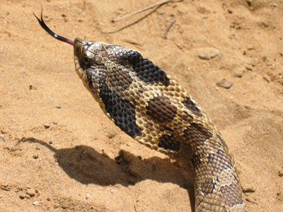 This Hog-nosed Snake is feeling threatened, so it is flaring its neck like a cobra.