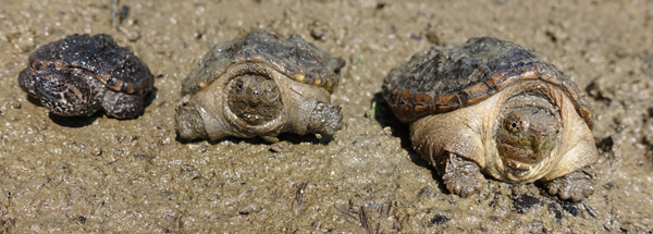 Three baby snapping turtles