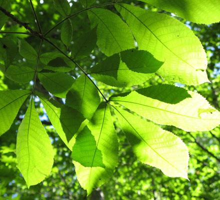 Bitternut hickory leaves